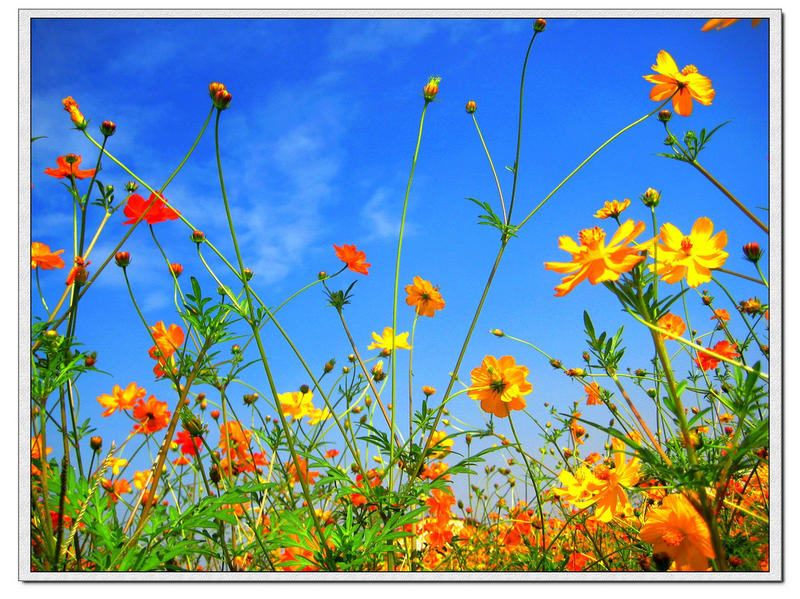 Cosmos and Sun Flowers