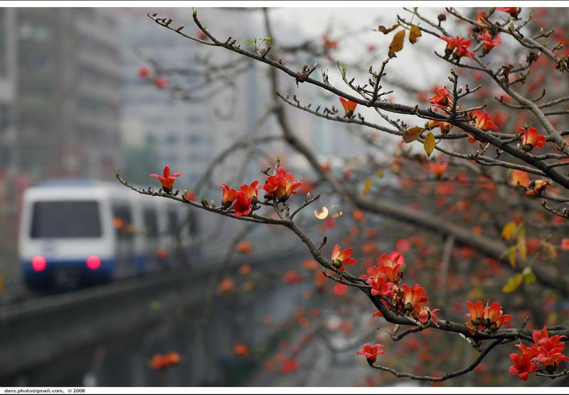 Kapok blossoms