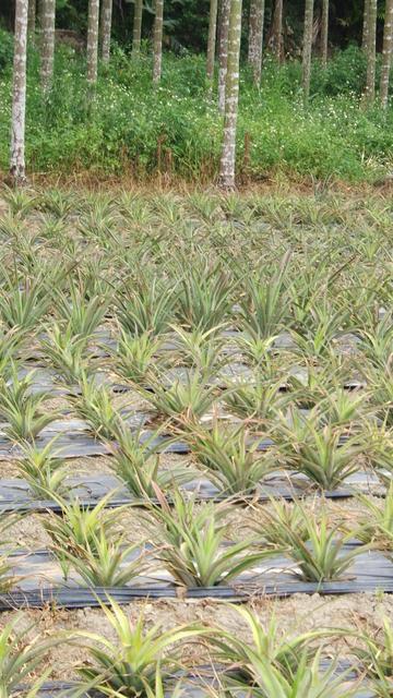 pineaples fields