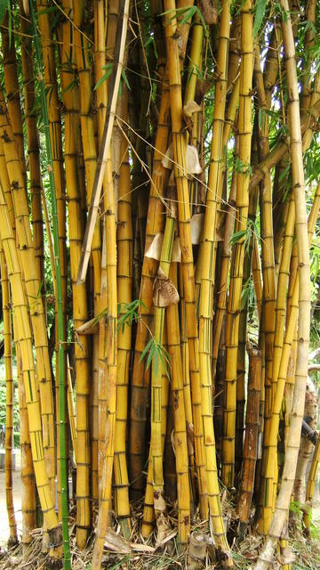 Tainan bamboos