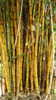 Click Here to view Tainan bamboos in Full Size