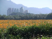 Click Here to view A field of Poppies in Daxi in Full Size