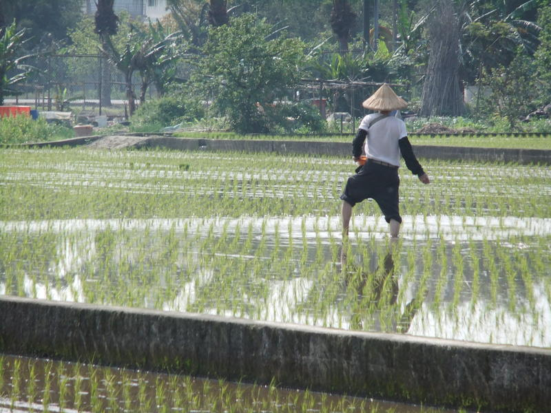 Rice Farmer Fertilizes His Field