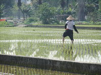 Click Here to view Rice Farmer Fertilizes His Field in Full Size