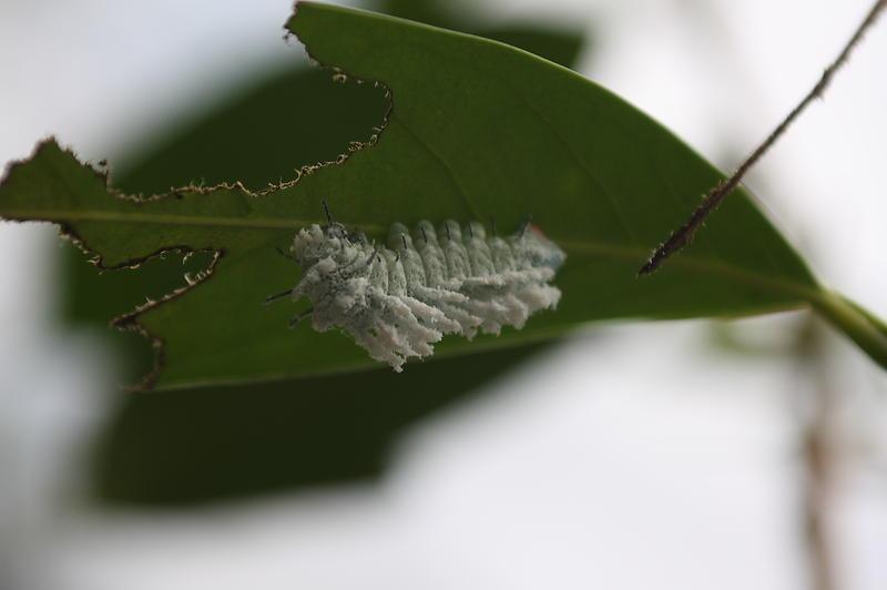 caterpillar eating a leaf