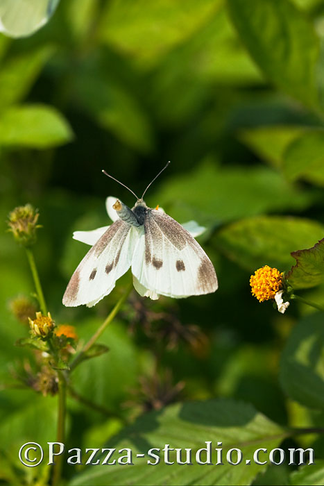 Indian Cabbage White butterfly