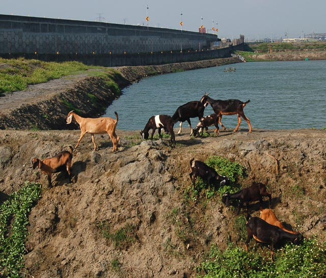 Goats Near Fish Pond