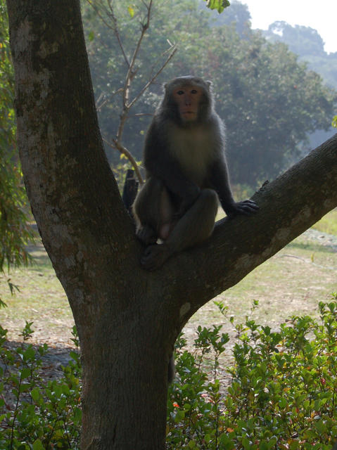 Monkey in Y Shaped Tree