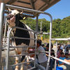 Milking Cow Show