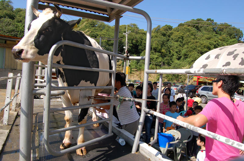 Milking Cow Show Two