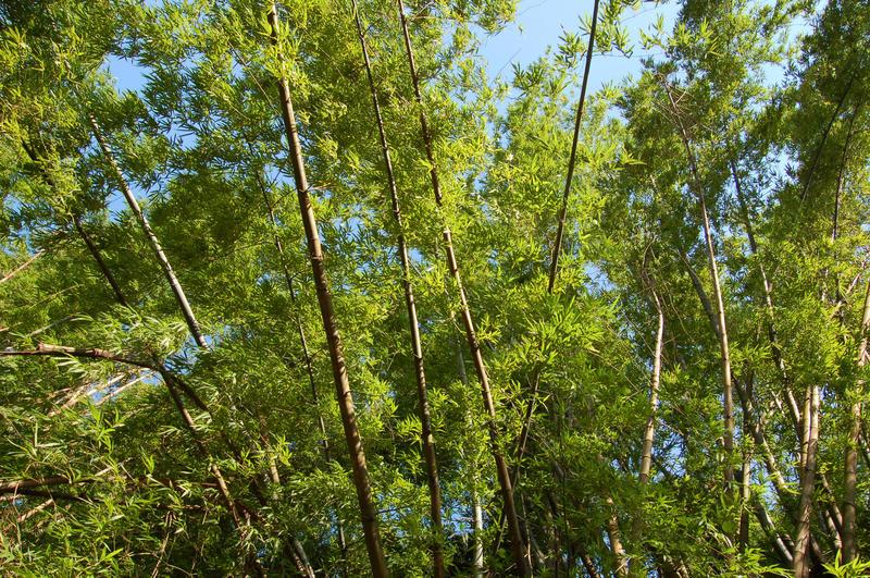 Bamboo Too