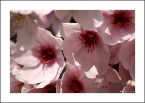Cheery Blossoms