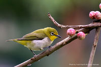Japanese White-Eye Bird