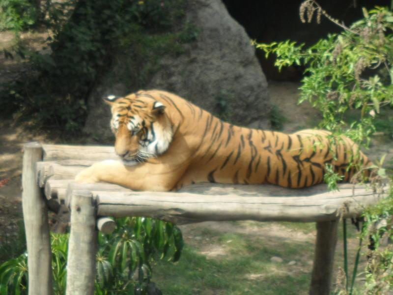 Tiger in kathmandu