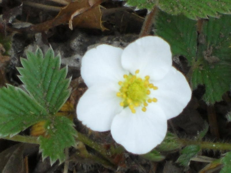 Flower at Langtang region