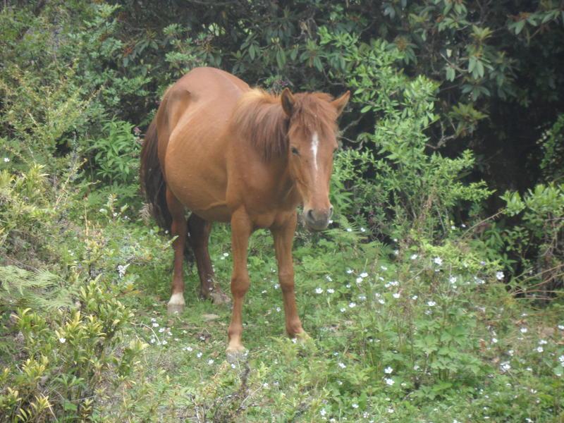 Horse at Langtang region